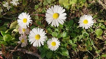 Gänseblümchen Frühlingsbote aus der Safran Drogerie