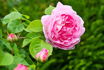 Damaszener Rose in der Safran Drogerie
